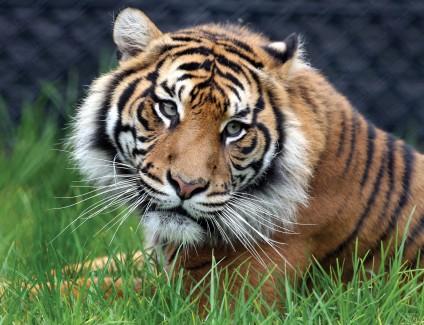 Symbio Wildlife Park Tiger